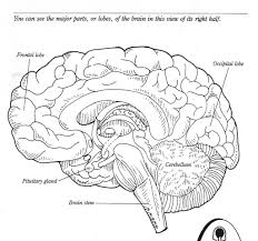 label the brain anatomy diagram human anatomy library