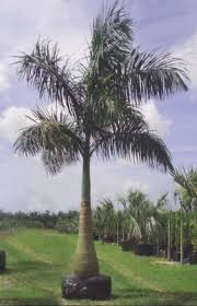 royal palm trees cheapest in kzn pietermaritzburg
