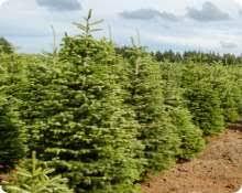 triangle seeds inc growing christmas trees since the 1950 u0027s