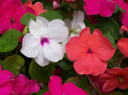 Outdoor Potted Plants Full Sun by Impatiens How To Plant Grow And Care For Impatiens Flowers