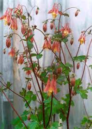 long island native plant initiative wild columbine aquilegia canadensis little wild brilliant red