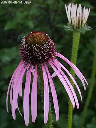 echinacea flower echinacea pallida pale purple coneflower minnesota wildflowers