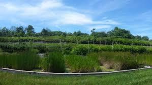 native plant plugs aqua niche ecological consulting habitat restoration and native