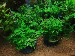 native aquarium plants bolbitis heteroclita u2013 asian water fern aquascapers