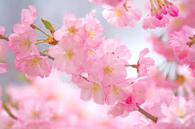 cherry blossom memories stylepeterson com