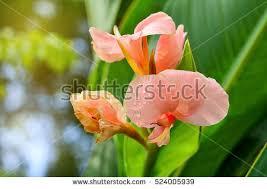 Cana Lilly Canna Flower Banco De Imagens Fotos E Vetores Livres De Direitos