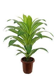 Best Plants For Desk by 28 Dracaena Dracaena Marginata Loutos Amp Yasmeen Flowers