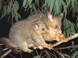 hie hidden housemates when possums go bump in the night