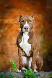 american pit bull terrier life expectancy 10 dog breeds mistaken for pit bulls simply for dogs