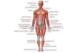 The Human Anatomy Muscles Human Being U003e Anatomy U003e Muscles U003e Anterior View Image Visual