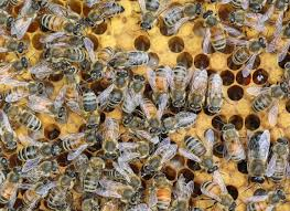 why are my honey bees different colors honey bee suite