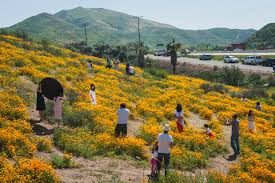 anza borrego super bloom california s desert wildflowers burst into bright super bloom