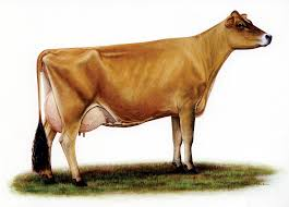 american jersey cattle association and national all jersey inc