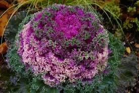 flowering kale recipes margarite gardens