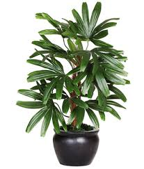 indoor palm the green team air purifier live rabish palm both indoor plant