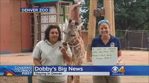 Denver Zoo Lights Coupons by Dobby The Giraffe Will Stay At The Denver Zoo Youtube