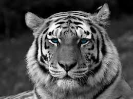 white tiger bengal tiger blue wall print poster ebay