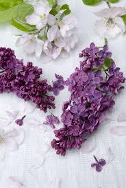 112 best l i l a c s images on pinterest flowers lavender and