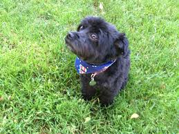 affenpinscher illinois july 2016 becky on books and quilts
