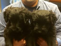 affenpinscher lab mix a forever home rescue foundation adopted dogs