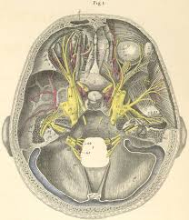 Base Of The Skull Anatomy The Base Of The Skull Showing The Course Of The Cranial Nerves