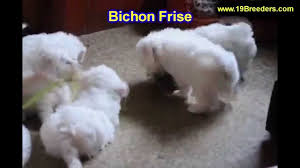 bichon frise dog breeders bichon fise puppies for sale in orlando florida fl deltona