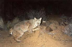 Can Coyotes See Red Light How To Hunt Coyotes At Night Best For Hunting Predator Hunting