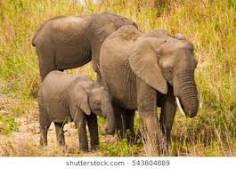 elephant family stock images royalty free images vectors