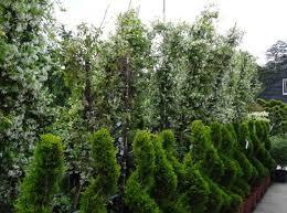 Most Fragrant Jasmine Plant - star jasmine mature star jasmine fragrant evergreen climber