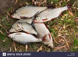 freshwater fish pile of freshwater roach fish and bream freshwater fish as stock