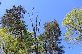 dead oak in fuquay varina just small trees llc