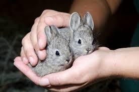rabbit rabbit columbia basin pygmy rabbit oregon zoo