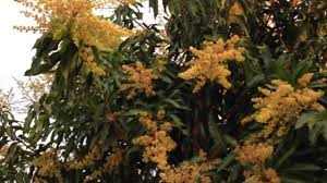 Cool Tree by Orchid Is Blooming On Mango Tree So Cool Beautiful