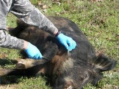 feral hog diseases health risks extension