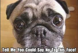 Puppy Eyes Meme - elegant puppy eyes meme funny archives page 11 of 18 pug meme