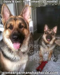 south australian german shepherd breeders old fashioned german shepherd breeders of old style german
