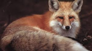sleeping red fox wallpapers images of fox wallpapers download sc