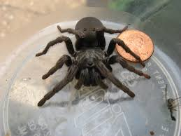 big tarantula like spider found in santa rosa ca