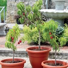 stark honeyglo miniature nectarine nectarine trees stark bro s