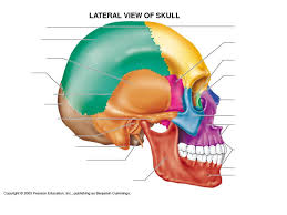Parts Of Ethmoid Bone Frontal Bone Sphenoid Bone Ethmoid Bone Lacrimal Bone