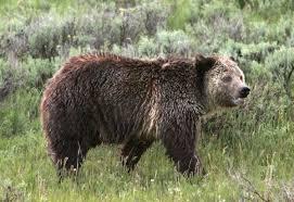 Bears Montana Hunting And Fishing - idaho moves ahead with possible grizzly bear hunting season