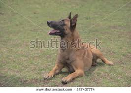 belgian sheepdog california belgian sheepdog stock images royalty free images u0026 vectors
