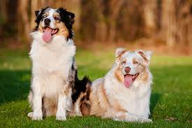 buy a australian shepherd australian shepherd love that pet