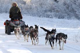 stock photo of a team of dogs harnessed to a quad