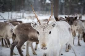 reindeer sleigh rides in the snow young adventuress