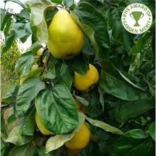 quince vranja buy quince tree purchase quince fruit trees
