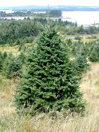 balsam fir christmas tree balsam fir christmas tree