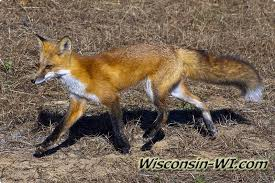 Wisconsin wildlife images Wisconsin wildlife wi facts photos video jpg