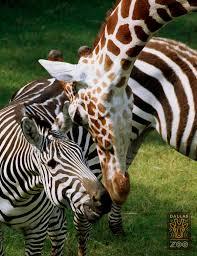 visit the dallas zoo dallaszooblogs trendy mom reviews