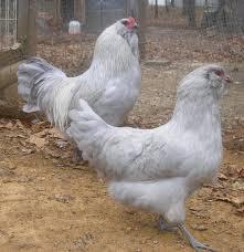 Backyard Chickens Forum by Http Www Backyardchickens Com Forum Uploads 31282 11 12